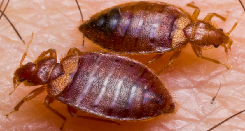 Tips for Selecting a Bed Bugs Service