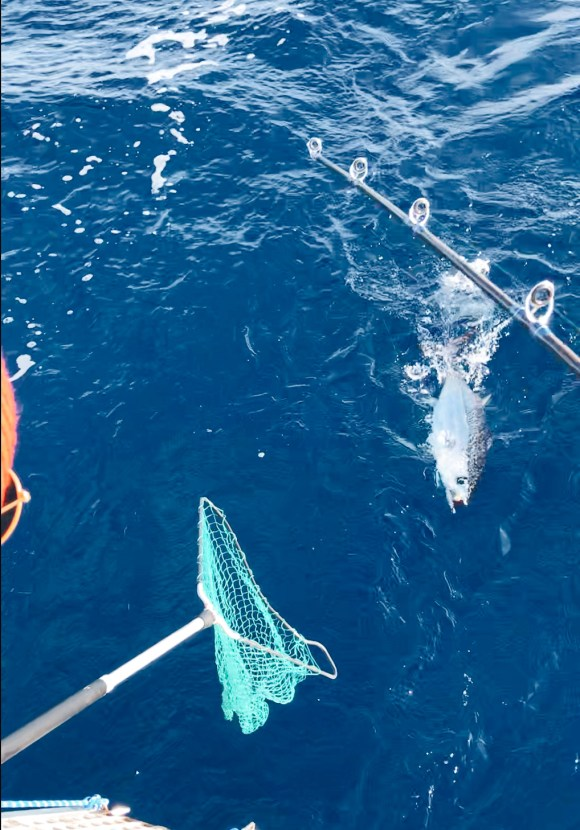 tuna in the water on a fishing line