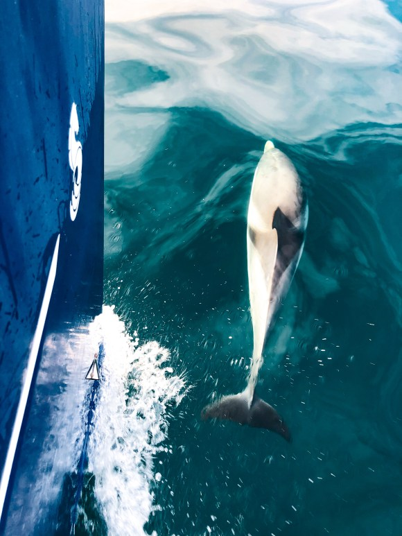 Dolphins close to a sailboat