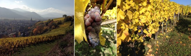 The view from Clos Jebsal; the Pinot Gris up close and personal with the botrytis; a row of Pinot Gris waiting to be harvested for the Late Harvest wine.