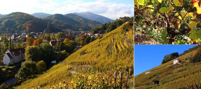 Autumn view of the Rangen Grand Cru, overlooking the town of Thann. The Riesling is being picked today, and the view of the Chapel giving the name of Clos St Urbain to Zind-Humbrecht's famous wine.