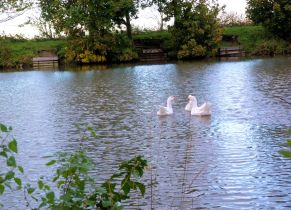 Swans in the grounds