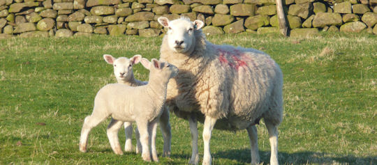 Sheep in Long Preston