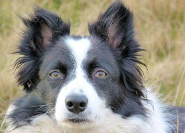Pure Collie Dog