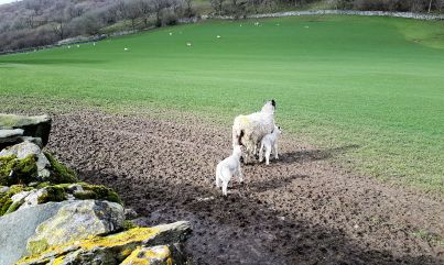 First lambs
