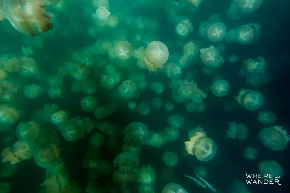Jellyfish Swarm In Palau