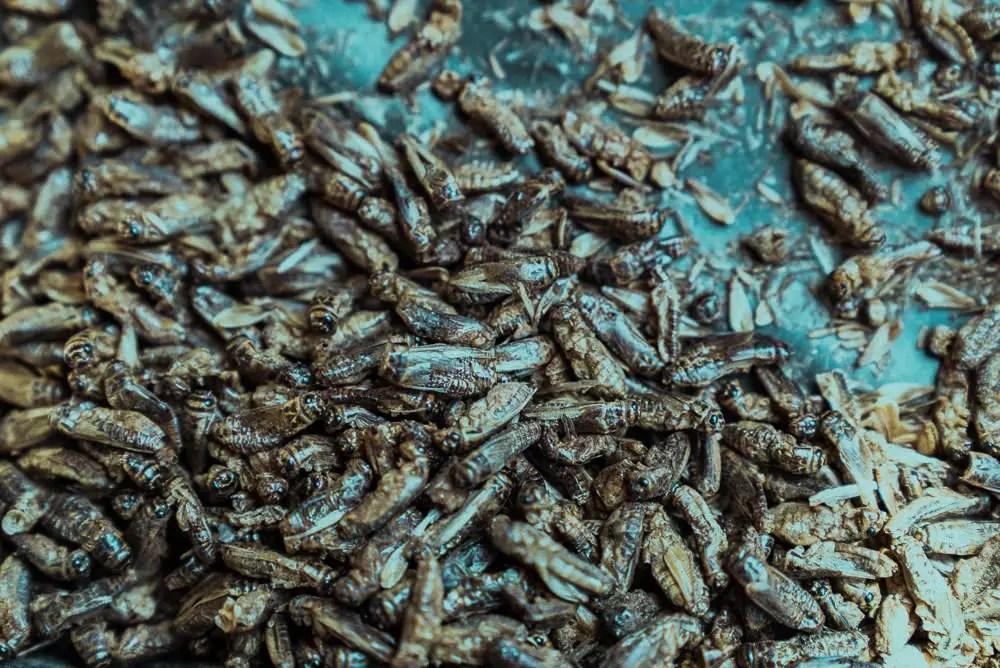 Crickets At Bear Grylls Survival Challenge