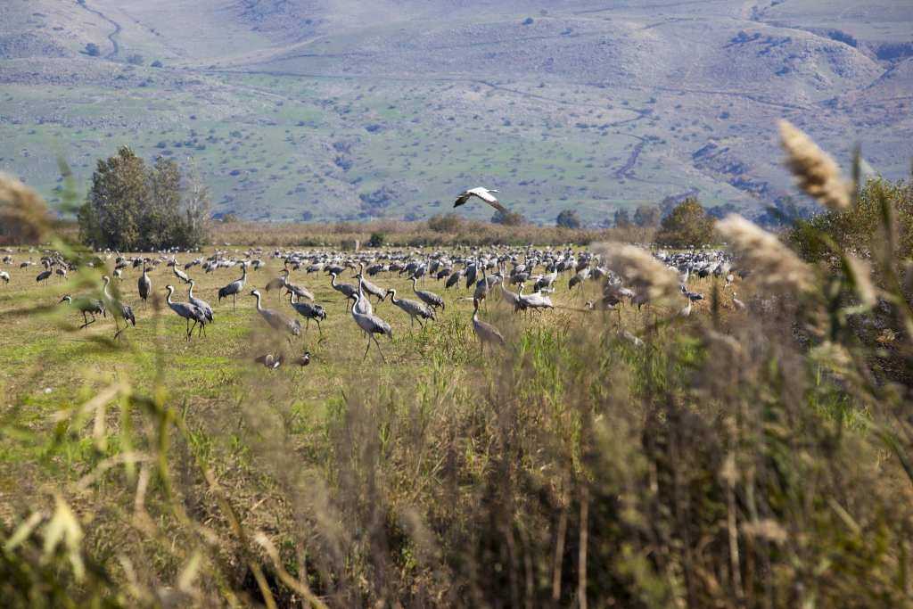 The Hula Valley is an agricultural region in northern Israel with abundant fresh water. It is a major stopover for birds migrating along the Syrian-African Rift Valley between Africa, Europe, and Asia. An estimated 500 million migrating birds now pass through the Hula Lake Park every year.The picture shows cranes resting in a field in the Hula Valley National Park. Photo by Itamar Grinberg.