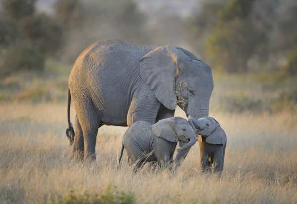 Mother elephant with twins in Amboseli National Park, Kenya, East Africa