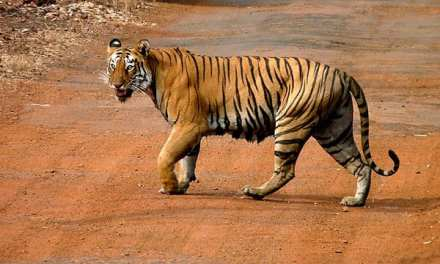 A List of Tigers at Tadoba National Park