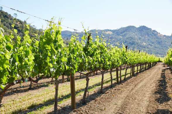 Solace Wine Vines