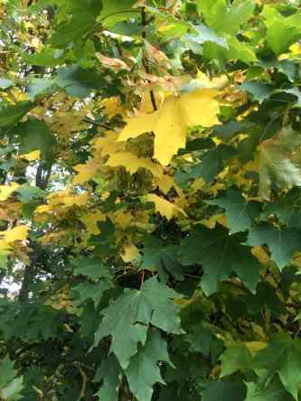 Autumn Sycamore leaves
