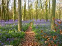 Path through the bluebells