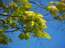 Sycamore leaves in Spring
