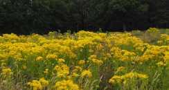 Daisies, Childwickbury, St Albans