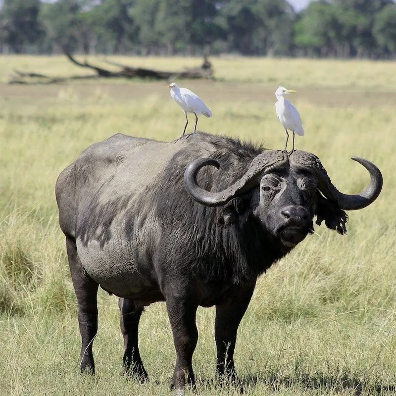 Buffalo standing in grass in Africa with two white birds sitting on his back