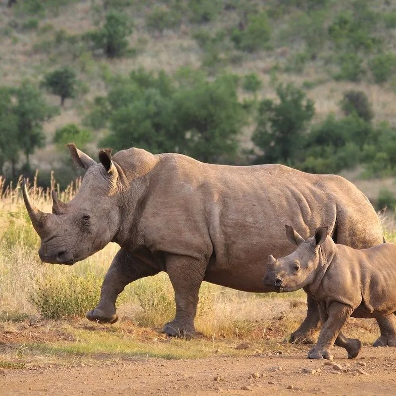A adult white rhino with a baby rhino next to it