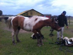 Toby having a good shake once his saddle was taken off!