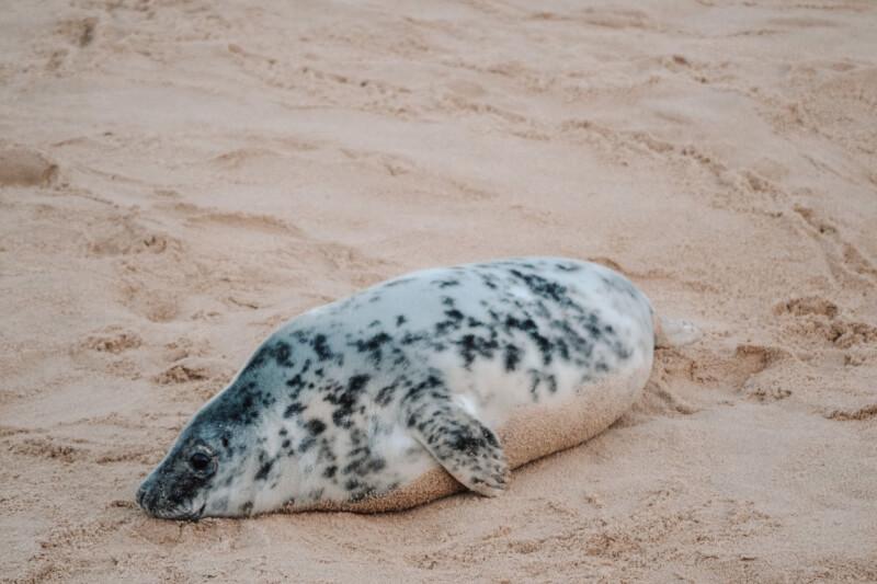 image of grey seal pup at horsey gap