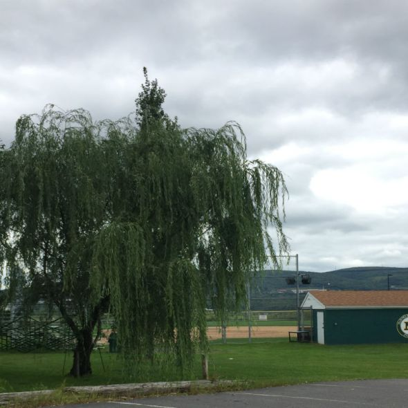 Weeping willow tree next to the dugout