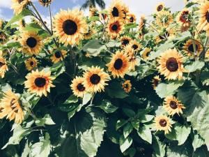 sunflowers-tiffanyteruna