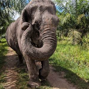 Things to do in Thailand: elephant after a mud bath and walking to the pond
