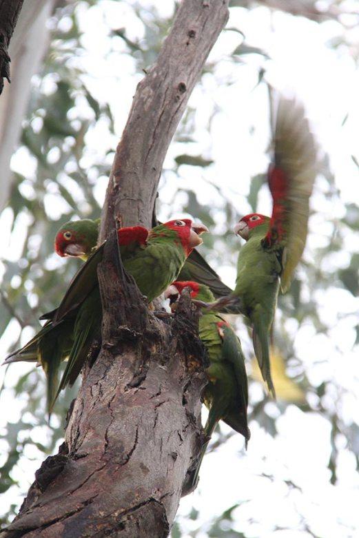 Parrots near Coit tower