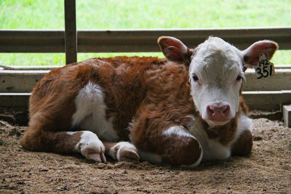 A Hereford baby