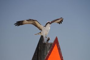 Osprey caught a fish