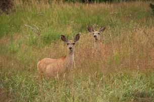 White-tailed deers