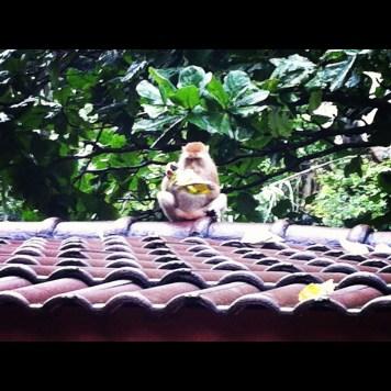 małpy i śmieci