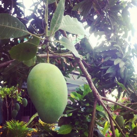 mango z drzewa