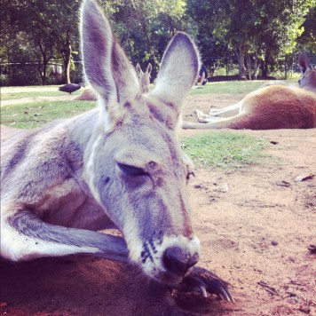 kangur śpioch