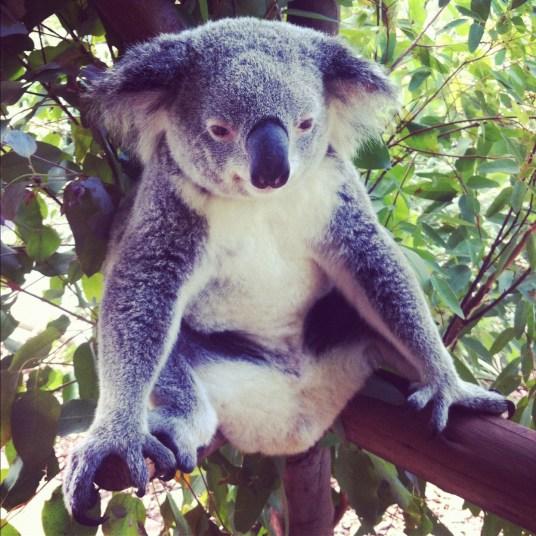 koala mój