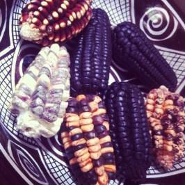 kolory kukurydzy