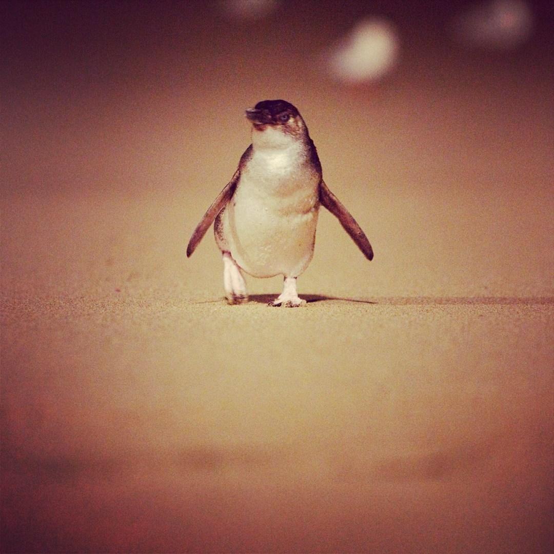 Pingwin na Phillip Island