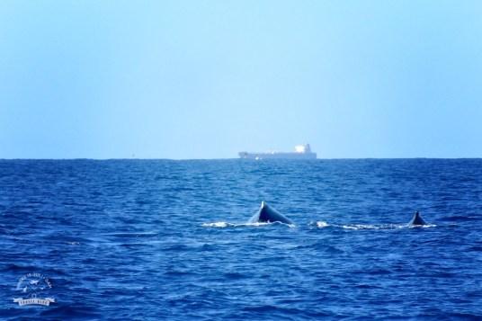wieloryby Mooloolaba