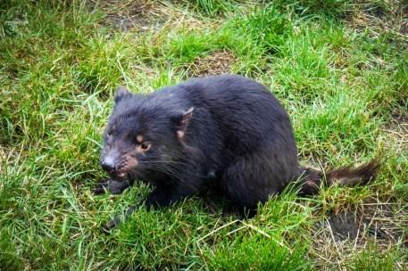 Tasmania diabeł tasmański