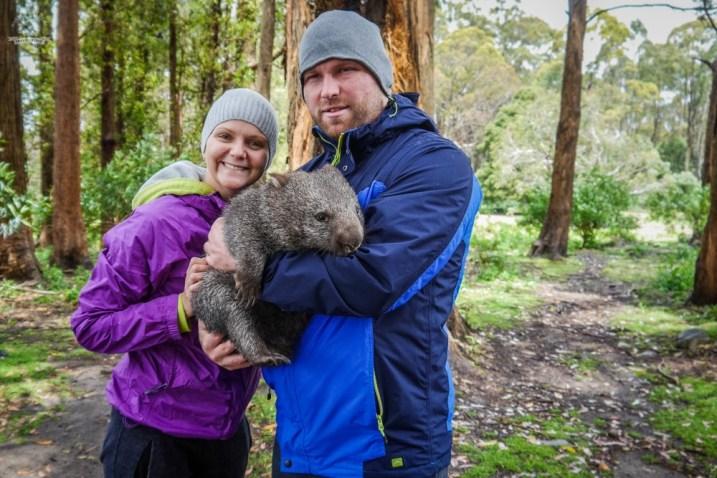 Tasmania przytulanie wombata zoo