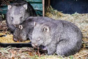Tasmania wombaty w zoo