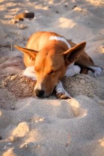 Pies na Fidzi