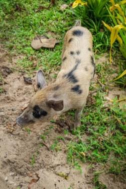 Swinie na Fidzi