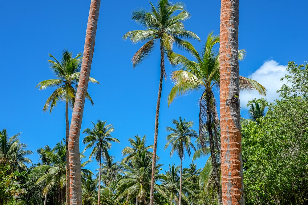 Las palm z pomarańczowymi pniami na wyspie Lolo