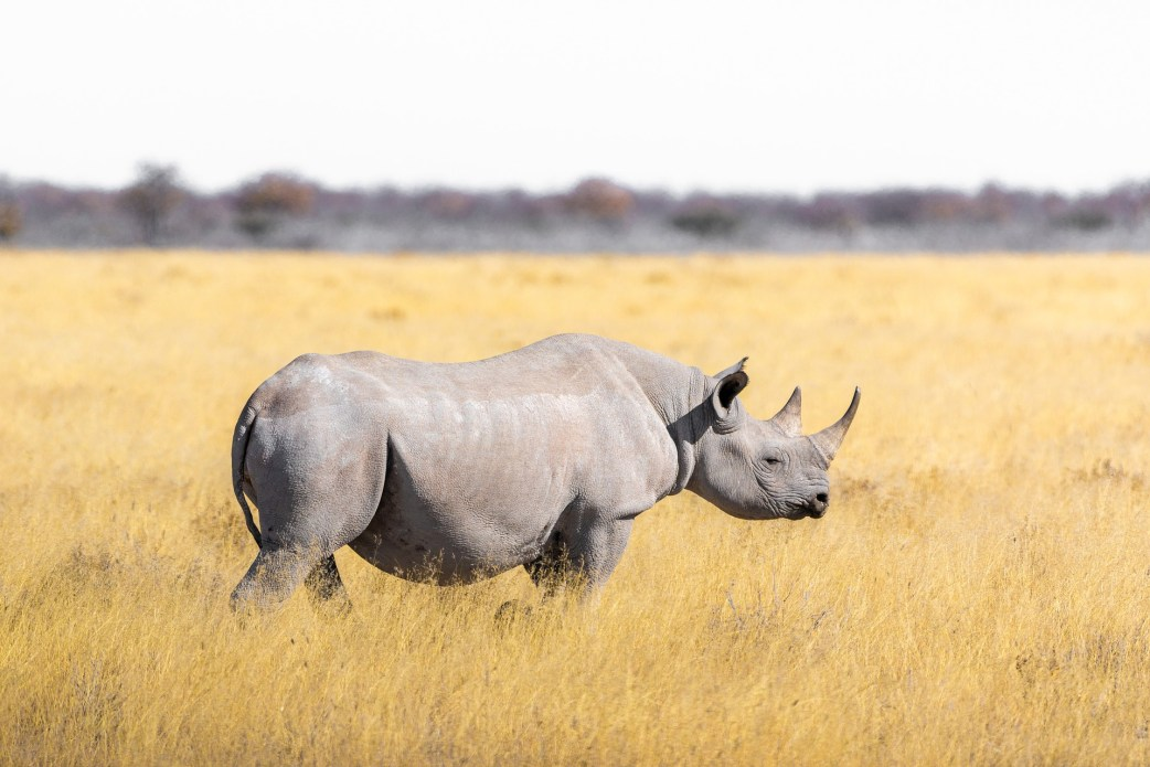 A black Rhino, one of Tanzania's Big Five on safari