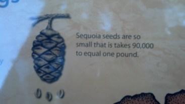 90,000 Sequoia seeds = 1lb