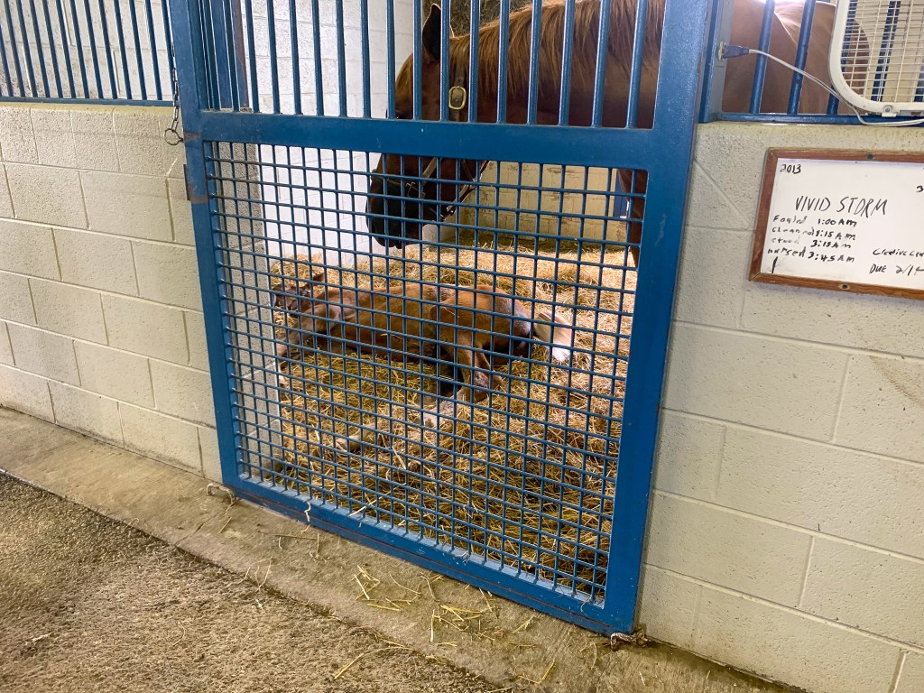 foal napping in a stable on a horse farm tour in Versailles, Kentucky