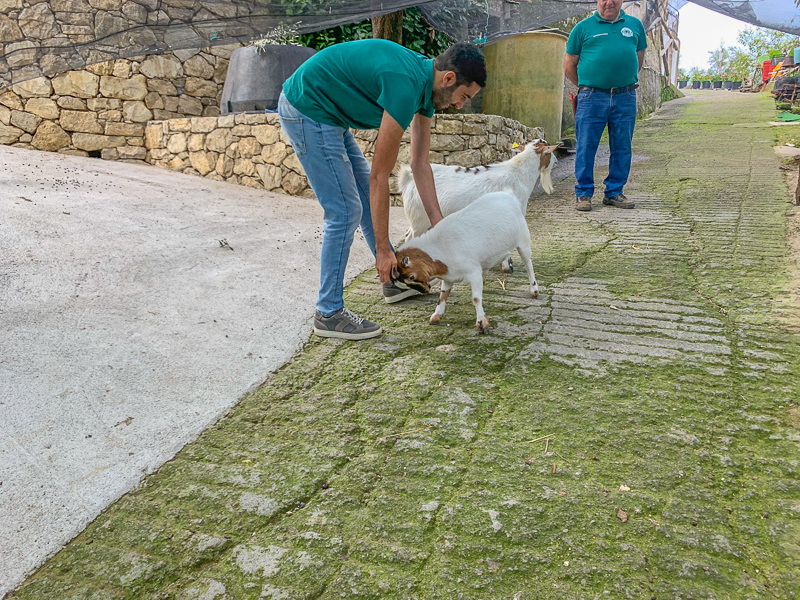 Man playing with a baby goat during a tour of a lemon orchard in Sorrento.