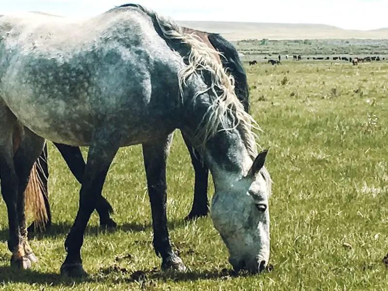 two wild horses feeding on grass at Deerwood Horse Sanctuary near Laramie, Wyoming.