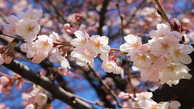 รู้ก่อนใคร ! พยากรณ์ซากุระบานพร้อมวิวฟูจิ ปี 2019 ที่คาวากูจิโกะ (Kawaguchiko) สถิติงานเทศกาลฤดูใบไม้ผลิ ชมซากุระที่ฟูจิ-คาวากูจิโกะ 4 ปี ย้อนหลัง