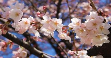 Fuji kawaguchiko Cherry Blossoms Festival 2019 2562